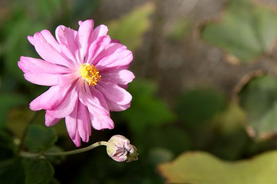 秋明菊3.jpg