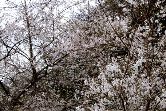 小葉桜1.jpg