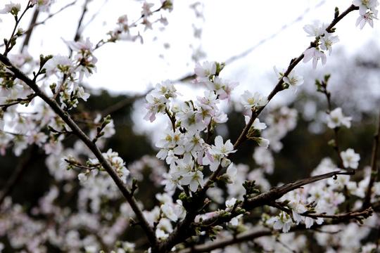小葉桜2.jpg